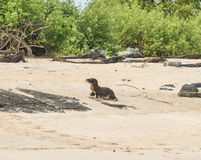 A young Sea Lion Pup on Sandy beach. Galapagos Stock Image
