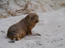 A young sea lion on the sand Stock Photo
