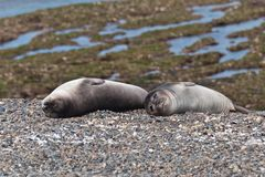 Young Sea Lions - Puppies Stock Photography