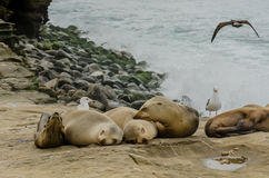 Young Sea Lions Sleeping on Rocks Royalty Free Stock Photography