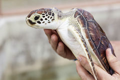 Young Sea Turtle. Close up of a Young sea turtle being held by human hands stock photos