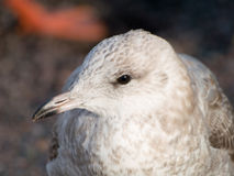 Young Seagull Royalty Free Stock Images
