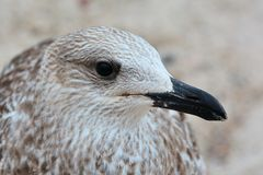 Young seagull Royalty Free Stock Photo