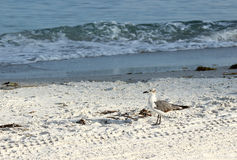 Young Seagull on Beach. A young seagull on the beach looking for food royalty free stock image
