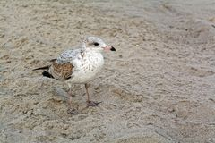 Young seagull on the beach Royalty Free Stock Photos