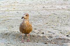 Young seagull on the beach Royalty Free Stock Photo