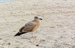 Young seagull on the beach Stock Images