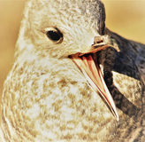 Young seagull with beak wide open - sepia tone Stock Photos
