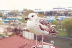 Young Seagull. Beige toned image Stock Images