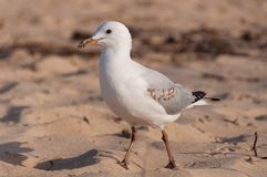 Young seagull bird in baby plumage standing in the sand. Seabird close up royalty free stock photography