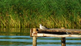 A young seagull bird sits on a wooden pier and rests. Wagtail bird walks along the wooden pier near the seagull. Small waves c stock video footage