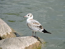 Young seagull bird Royalty Free Stock Photos