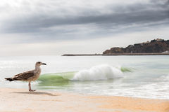 Young Seagull and breaker wave. Stock Photo