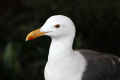Young Seagull Stock Photo