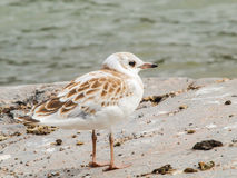 Young seagull Royalty Free Stock Image