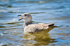 Young seagull is eating Royalty Free Stock Photography