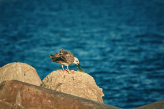 Young Seagull Eats a Fish Royalty Free Stock Images