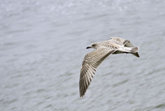 Young Seagull flapping and turning. A seagull flying over the sea, flapping while turning left Royalty Free Stock Photos