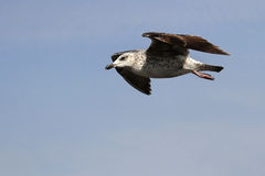 Young seagull in flight Stock Image