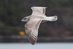 Young seagull in flight Royalty Free Stock Photos
