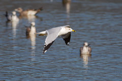 Young seagull in flight Royalty Free Stock Photo