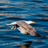 Young seagull Royalty Free Stock Photography