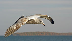 Young Seagull flying over water looking for food Royalty Free Stock Image