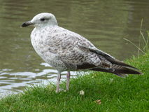 Young seagull in full view Stock Photo