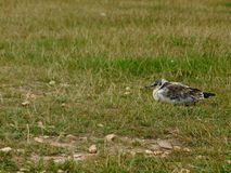 Young Seagull in the Grass Stock Image