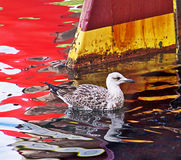 Young seagull in harbor waters Stock Images