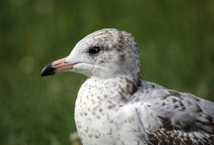 Young seagull headshot Royalty Free Stock Photos