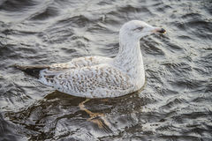 Young seagull Stock Images