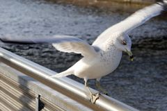 Young Seagull landing. A young seagull with a clumsy landing on a railing trying to regain balance stock images