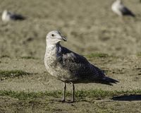 Young seagull looking away from the camera on the beach royalty free stock images