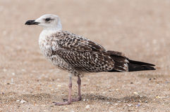 Young seagull nestling Royalty Free Stock Photography