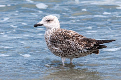 Young seagull nestling in water Royalty Free Stock Images
