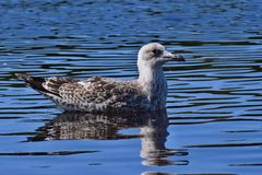 Young seagull on a pond... royalty free stock photos