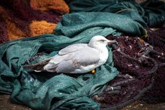 Young seagull resting on the fishing nets. Royalty Free Stock Photo