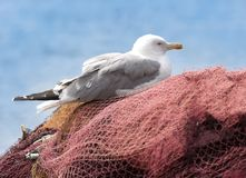 Young seagull resting on the fishing nets. Stock Image