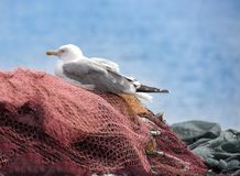 Young seagull resting on the fishing nets. Stock Images