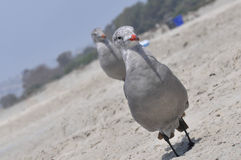 The young seagull on the sand, Coronado. The young seagull on the sand beach in Coronado, San Diego, California Royalty Free Stock Photos