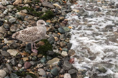 Young Seagull at the Shoreline. Young seagull standing at the shoreline on pebble beach Stock Images