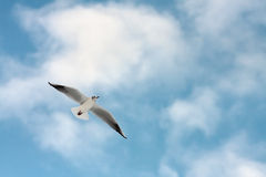 Young seagull in the sky Stock Photography
