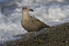 Young seagull is standing on the beach on the Ocean Stock Image