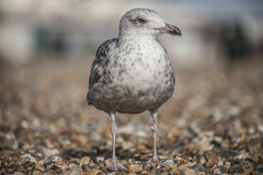 A young seagull standing on the pebbles in Brighton. Stock Photo