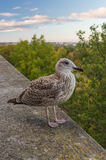 Young seagull standing on the stone fence Stock Photos