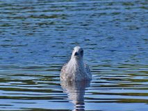 Seagull on a reservoir... stock photo
