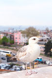 Young Seagull at the town. Young Seagull at the Istanbul Royalty Free Stock Images