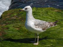 Young seagull waiting to take off! royalty free stock photos