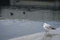 Young Seagull is watching some common coots on the sea. At Istanbul royalty free stock images